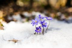 Голубые snowdrops на снеге, nobilis весны Hepatica Стоковые Изображения
