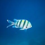 голубые striped рыбы Стоковое Изображение