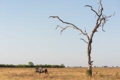 Голубые wildebeast и дерево стоковая фотография