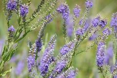 голубые wildflowers Стоковое Фото