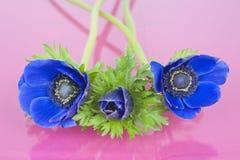 3 голубых ветреницы на розовой предпосылке Стоковые Фотографии RF