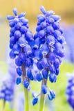 2 голубых виноградного гиацинта с водой падают весной Стоковые Фото