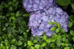 2 голубых гортензии Стоковые Фотографии RF