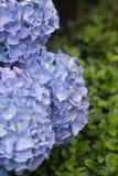 2 голубых гортензии Стоковое фото RF