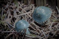 2 голубых гриба в сосновом лесе Стоковые Фотографии RF