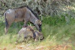 2 голубых икры антилопы гну Стоковые Фото