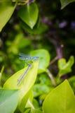 2 голубых красотки Стоковое Изображение RF