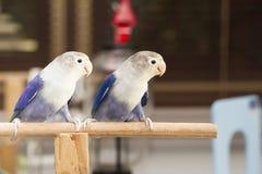 2 голубых неразлучника сидя на окуне Стоковое Изображение