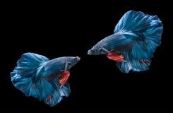2 голубых сиамских воюя fishs, splendens betta Стоковые Фото