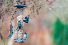 4 голубых синицы на фидере в зиме Стоковые Изображения