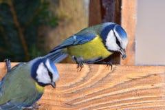 2 голубых синицы с семенем в клюве Стоковое Изображение