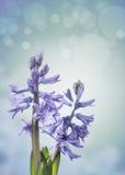 2 голубых цветка гиацинта на сини Стоковое Фото