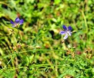 2 голубых цветка леса в зеленой траве Стоковая Фотография