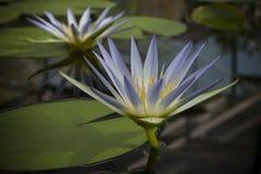 2 голубых цветка Нила Waterlily (Nymphaea Caerulea) в пруде Стоковые Изображения RF