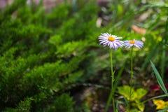 2 голубых цветка стоцвета в саде Свет - фиолетовые лепестки и желтый центр Стоковое Изображение RF