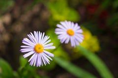 2 голубых цветка стоцвета в саде Свет - фиолетовые лепестки и желтый центр Стоковое фото RF