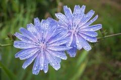 2 голубых цветка цикория с росой на лепестках, на зеленой предпосылке нерезкости Стоковое Фото