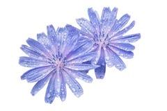 2 голубых цветка цикория с росой на лепестках Стоковое Изображение RF