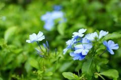 2 голубых цветка Стоковые Изображения