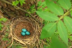 3 голубых яичка молочницы в соломе гнездятся на дереве в лесе Стоковая Фотография RF