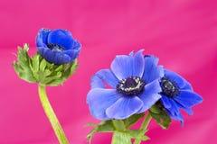 3 голубых windflowers на розовой предпосылке Стоковое Фото