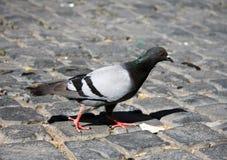 Голубь (бортовой профиль) на мощенной булыжником пакостной улице Стоковое фото RF