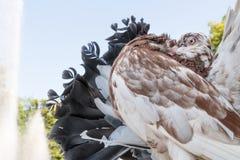 Голубь Брайна в парке Стоковые Изображения RF