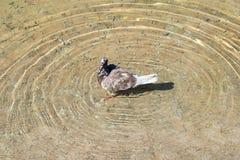 Голубь в воде Стоковое Фото