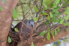 Голубь в гнезде ` s птицы Стоковая Фотография