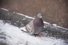 Голубь в зиме Стоковые Изображения