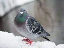 Голубь в зимнем времени стоковые фото