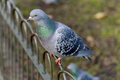 Голубь в парке St James Стоковое фото RF