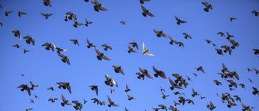 Голубь в полете против голубого неба Стоковое фото RF