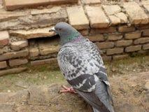 Голубь в римских руинах Стоковые Фотографии RF