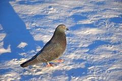 Голубь в снеге на солнечный день в деревне Стоковые Изображения