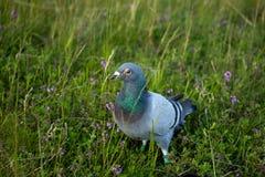 Голубь в траве и цветках Стоковая Фотография RF
