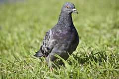 голубь в траве Стоковые Фотографии RF