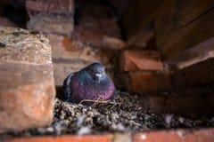 Голубь голубя сидит на гнезде Стоковые Изображения