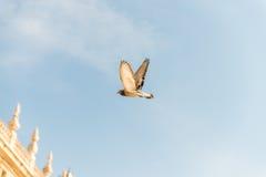 Голубь летания Стоковые Изображения RF