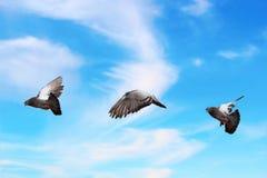 Голубь летая над красивым небом Стоковые Изображения