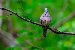 Голубь зебры или голубь или Javanese Barrec земной striated земное Dov Стоковая Фотография