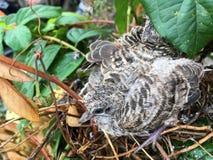 Голубь зебры на гнезде птицы Стоковые Изображения RF