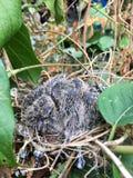 Голубь зебры на гнезде птицы Стоковые Фото
