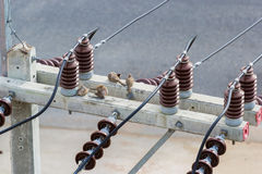 Голубь зебры на электрическом столбе стоковое фото rf