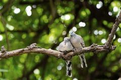 Голубь зебры пар ослабляя на дереве Стоковая Фотография