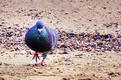 Голубь идя на пляж Стоковые Фото