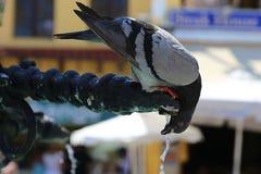 Голубь (колумба) гасит жажду в старом городке в Родосе Стоковое фото RF