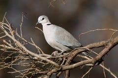 голубь Накидк-черепахи или Кольц-necked голубь, capicola горлицы стоковое фото