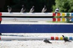Голубь на барьере на следе скачек Стоковое Изображение