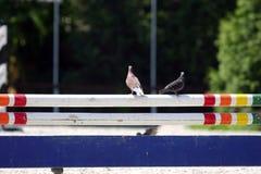 Голубь на барьере на следе скачек Стоковое фото RF